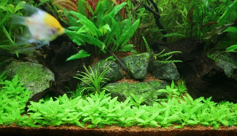 Staurogyne Rubescens suele crecer 5-6 centímetros