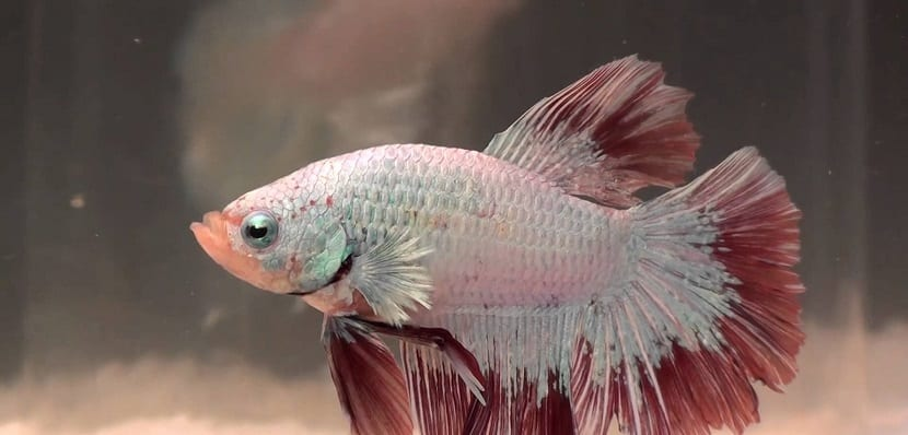 Pez Betta dragón