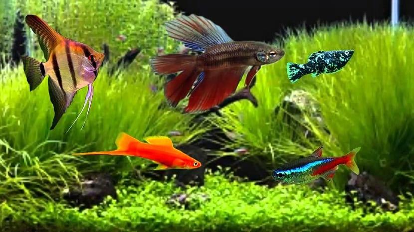 el pez betta tiene que vivir en lugares con agua limpia