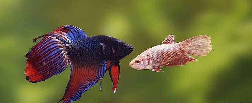 los machos betta son más coloridos que las hembras