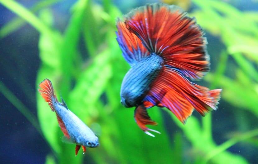 batalla entre dos peces bettas