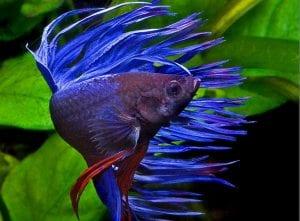 el pez betta puede sobrevivir en muchas condiciones