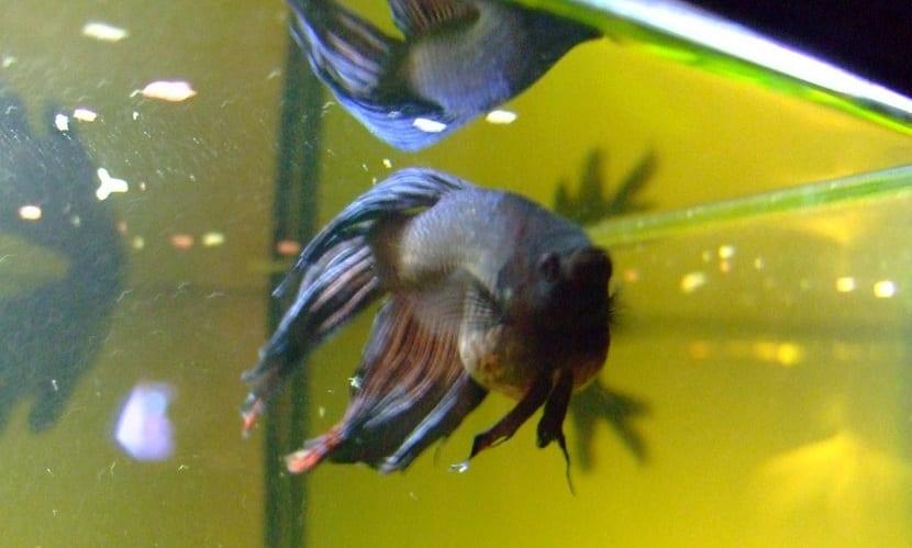 los peces bettas enfermos pierden sus colores vivos