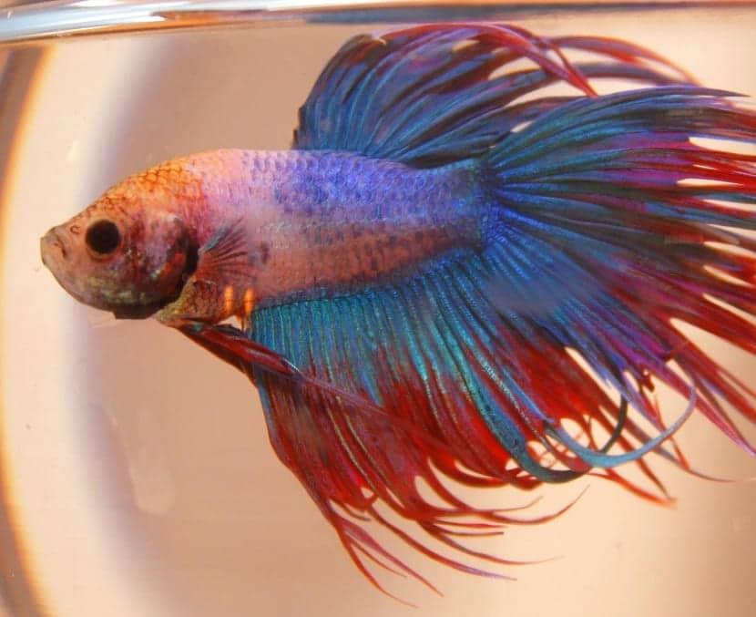 el pez Betta es famoso por ser buen luchador