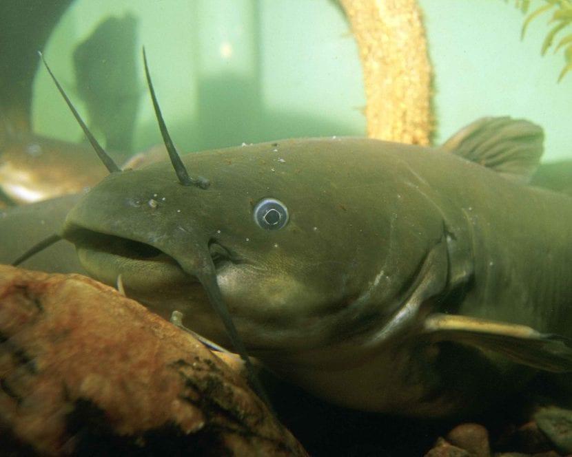 peces de agua dulce españa