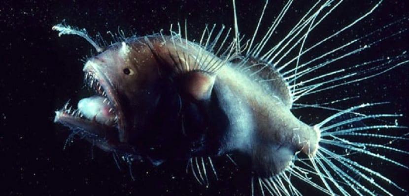 el pez fanfi vive en profundidades de 1000 a 3000 metros de profundidad