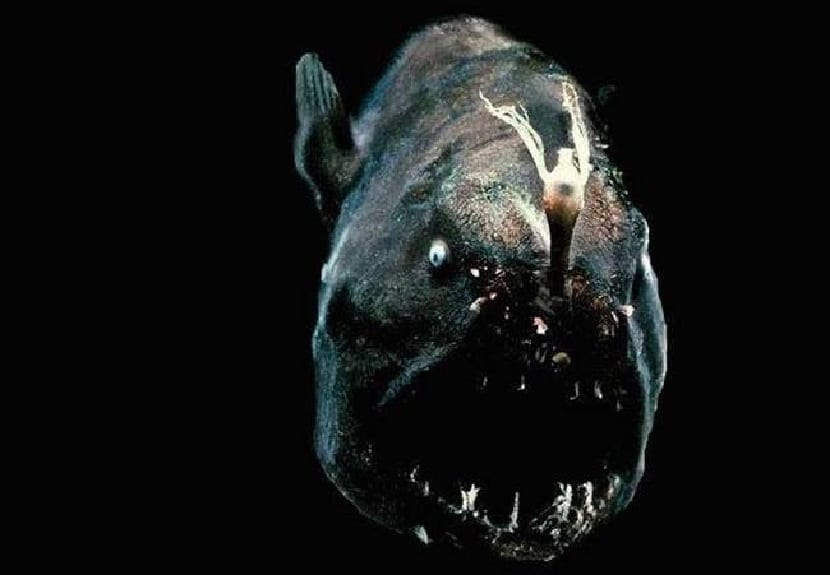 El pez fanfin pertenece a la familia Caulophrynidae