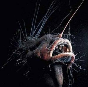 el pez fanfi es llamado el demonio del mar por su terrible aspecto