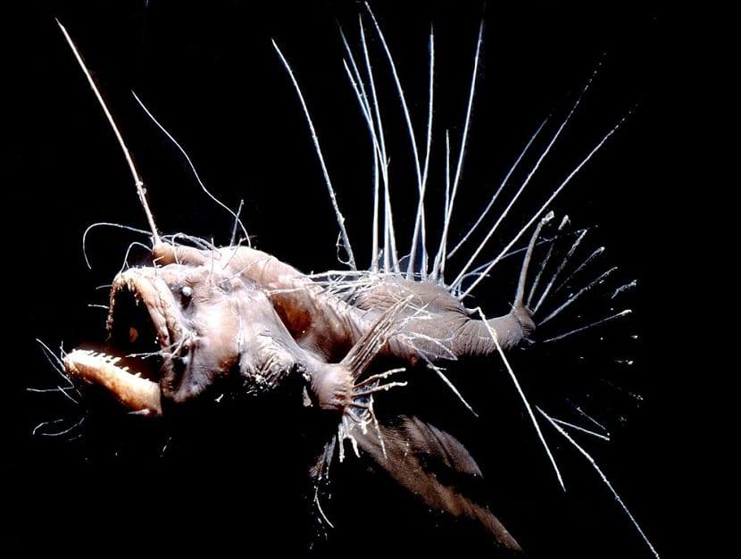el pez rape vive a profundidades de 1.600 metros