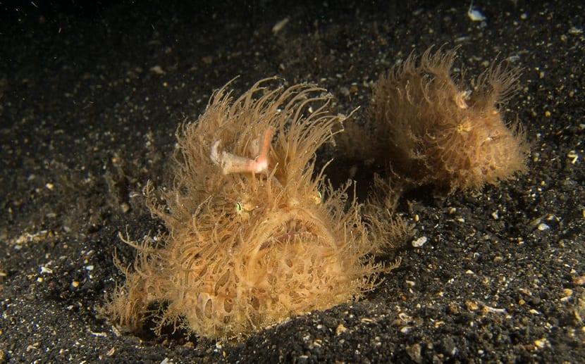 el pez sapo se camufla para poder asaltar a sus presas