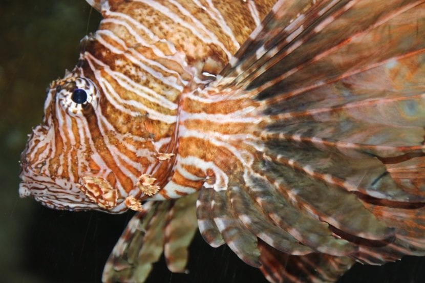 Cabeza del pez escorpión
