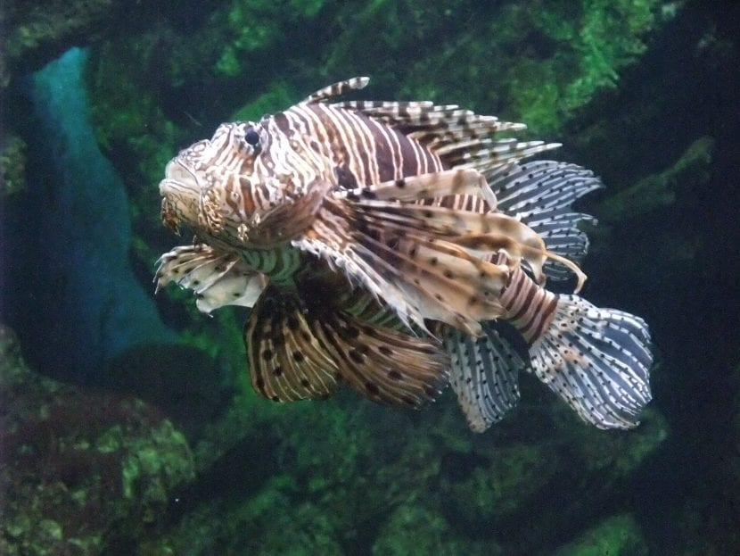 Cuerpo del pez escorpión
