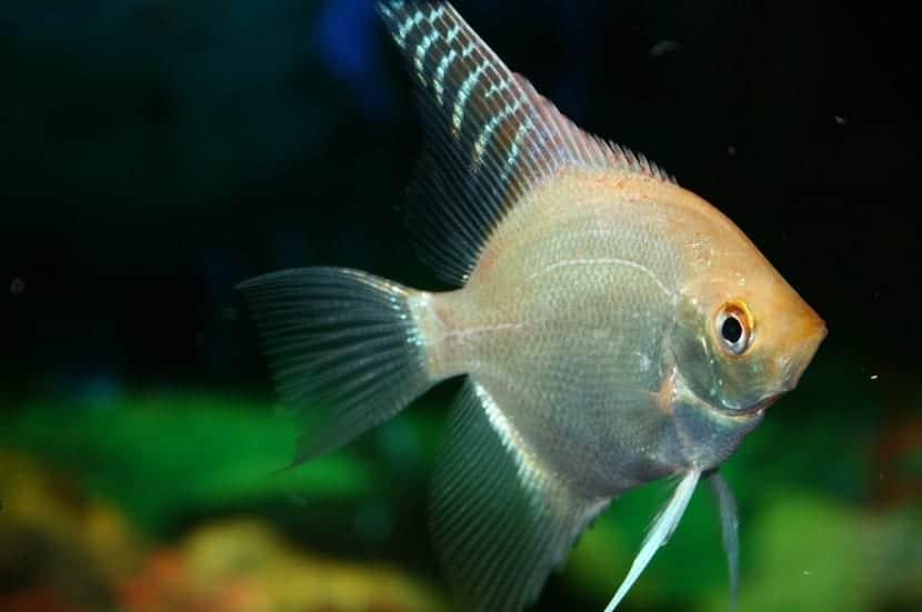 el pez angel es muy territorial