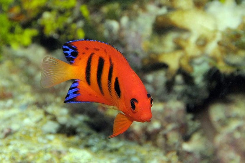 pez angel llama