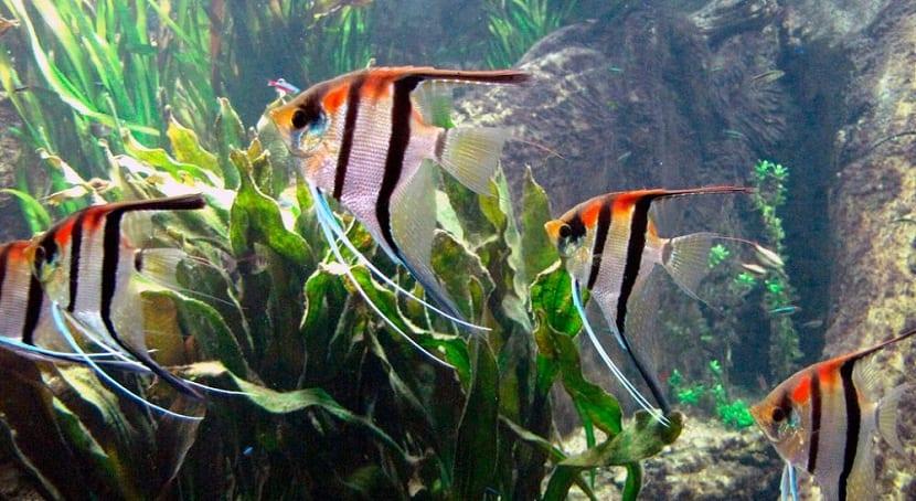 el pez angel requiere condiciones adecuadas