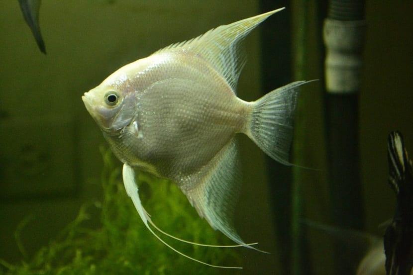 el pez angel es muy vistoso