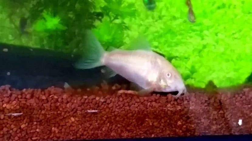 pez limpiando fondo