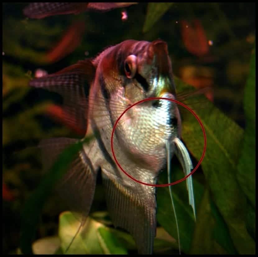 vientre hinchado de un pez con hidropesía