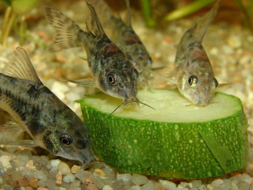 Otocinclus los peces que limpian las pareces de los acuarios for Peces alimentacion