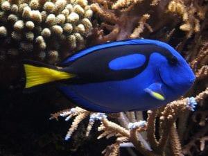 aspecto del pez cirujano