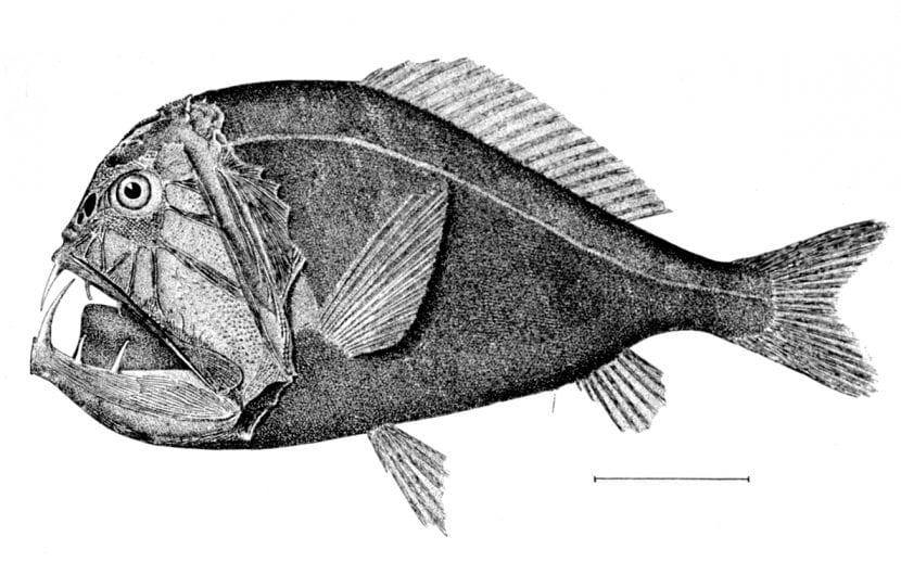 Dibujo de un pez abisal