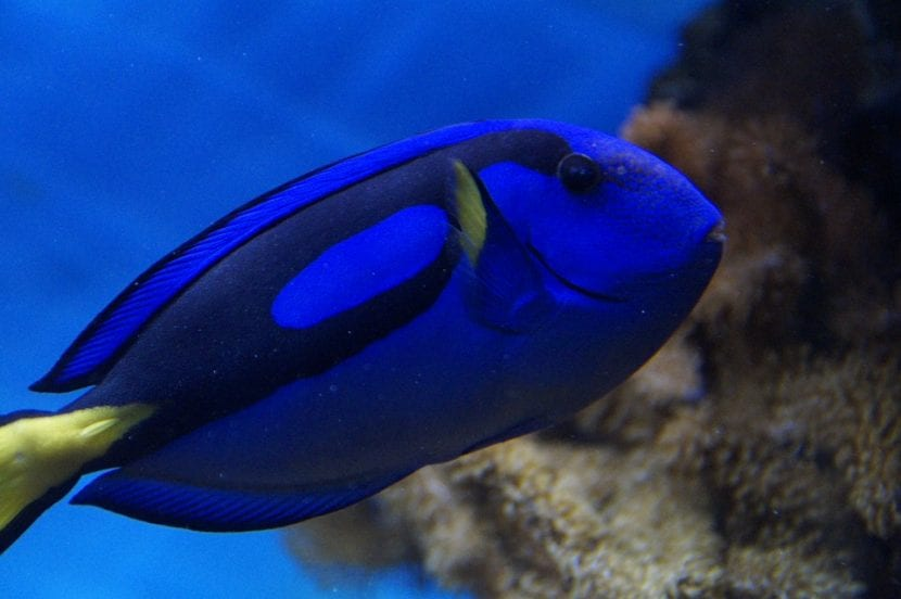 pez cirujano azul
