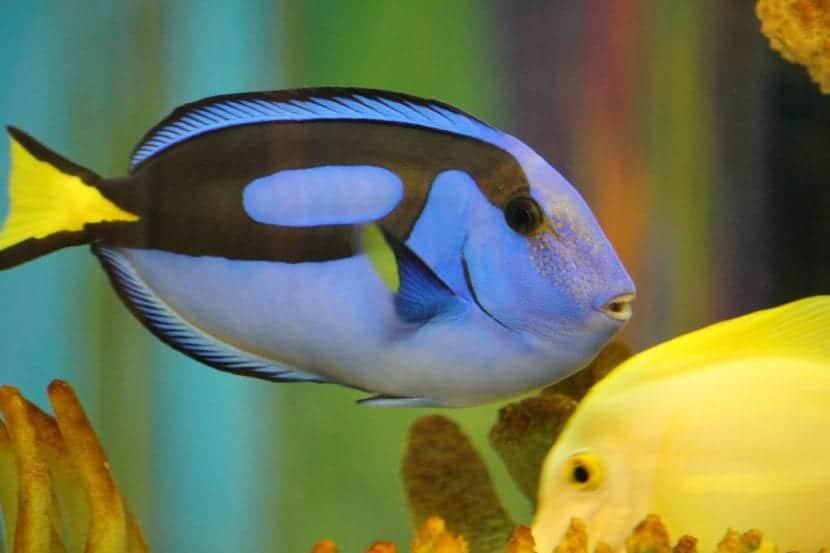 pez cirujano azul y amarillo