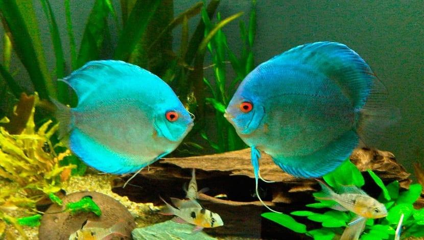 Pez Disco Azul, Symphysodon Aequifasciatus Hara
