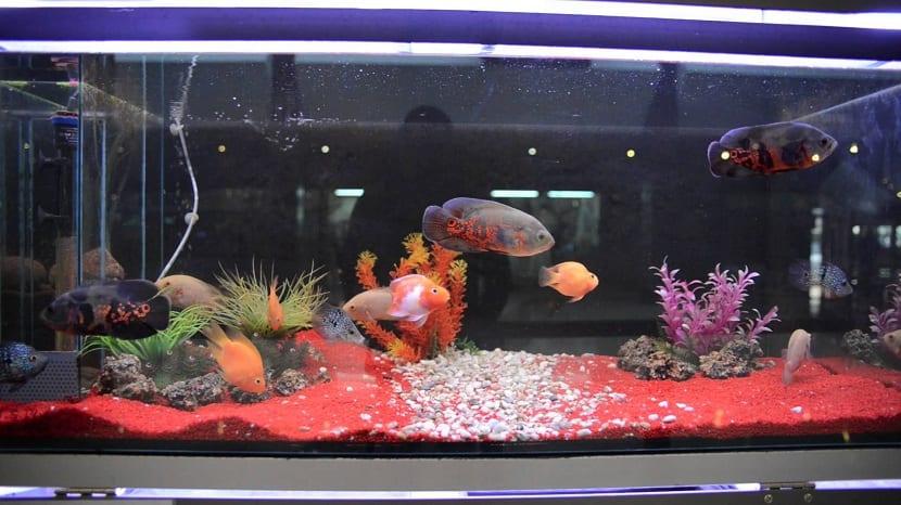 acuario para pez oscar