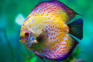 el pez disco es considerado el rey del acuario
