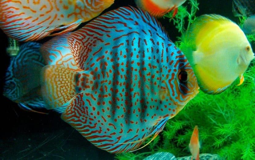 el pez disco puede ser muy delicado