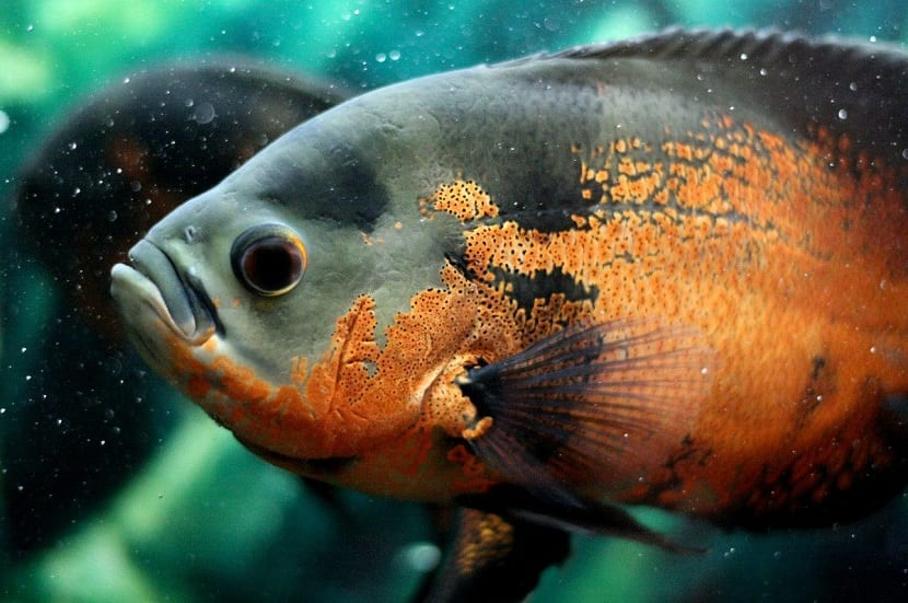 el pez Oscar necesita un gran acuario