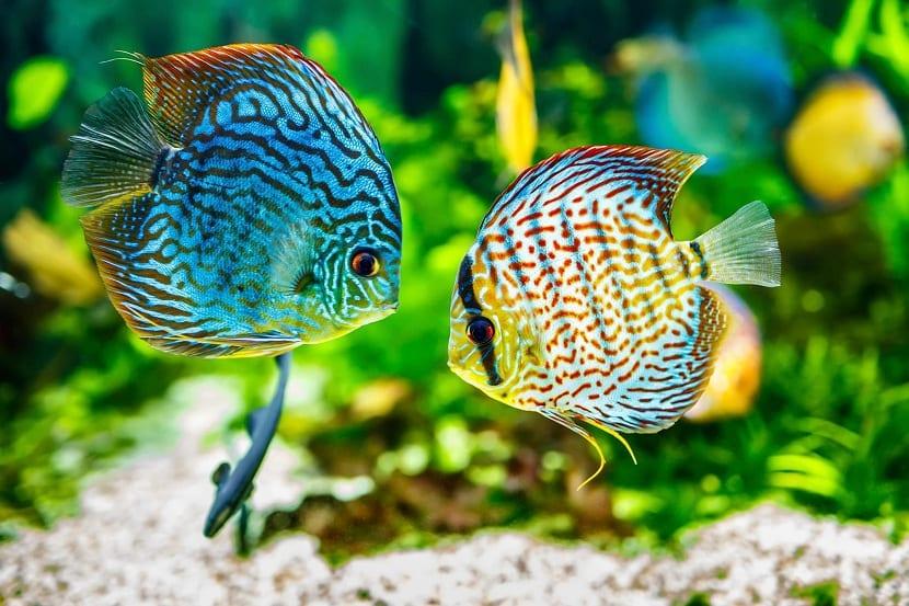 pareja de pez disco