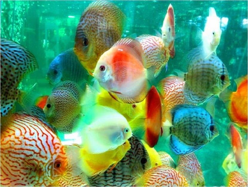 los peces disco deben de ir en grupos para que e líder pueda ejercer presión