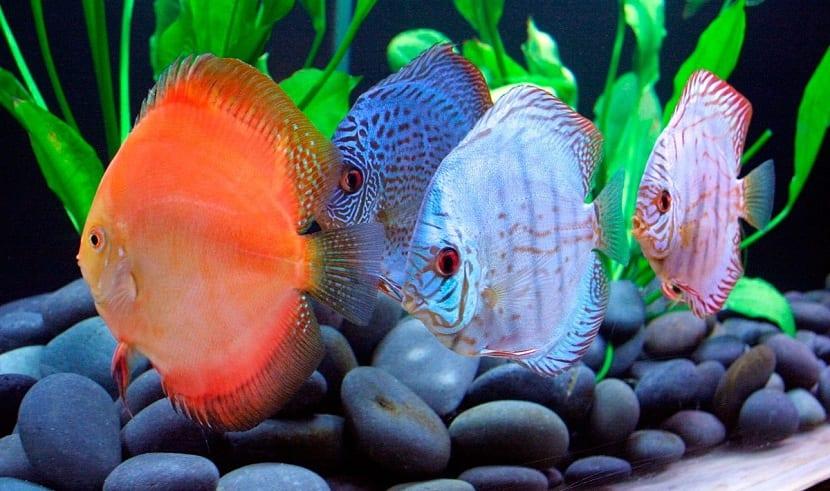 el pez disco tiene su hábitat en ríos del Amazonas
