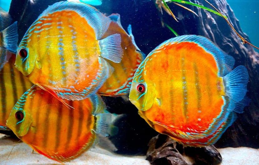 el pez disco destaca por su belleza
