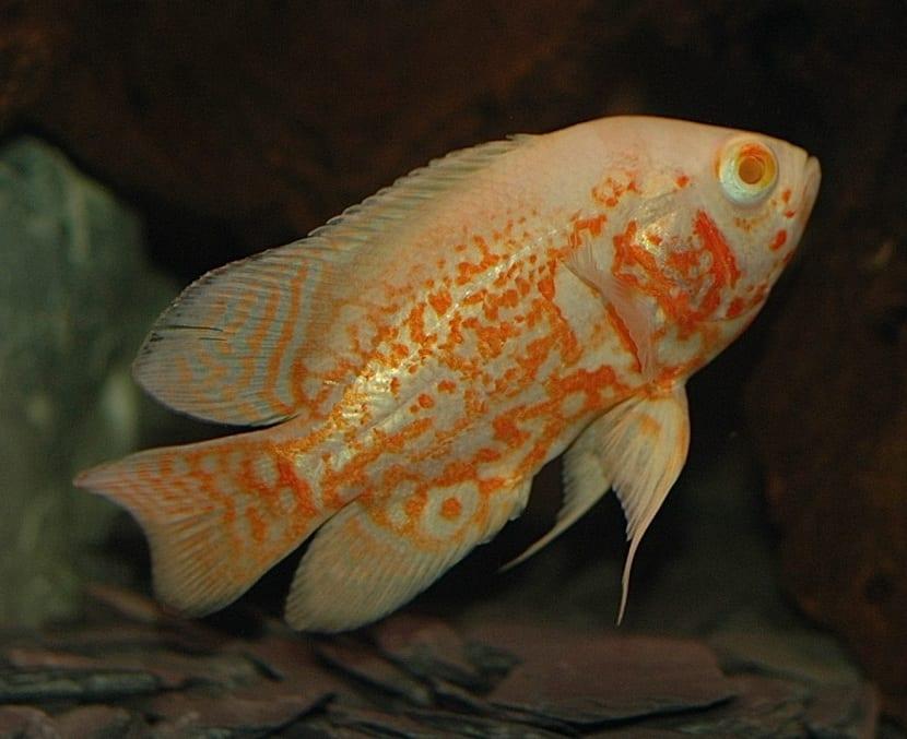 pez oscar dorado