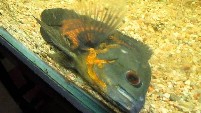 pez oscar enfermo