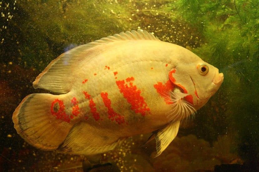 pez oscar en acuario