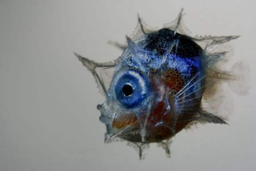 Alevín del pez luna