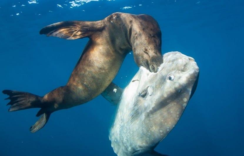 depredadores del pez luna