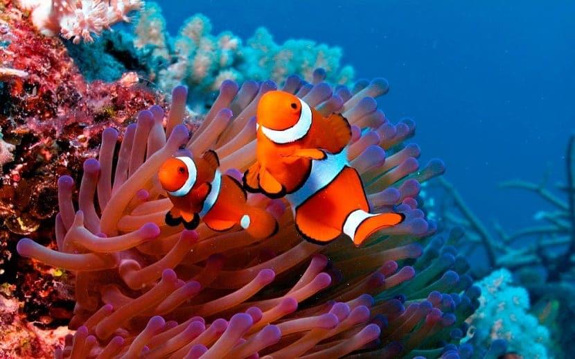 hábitat del pez payaso
