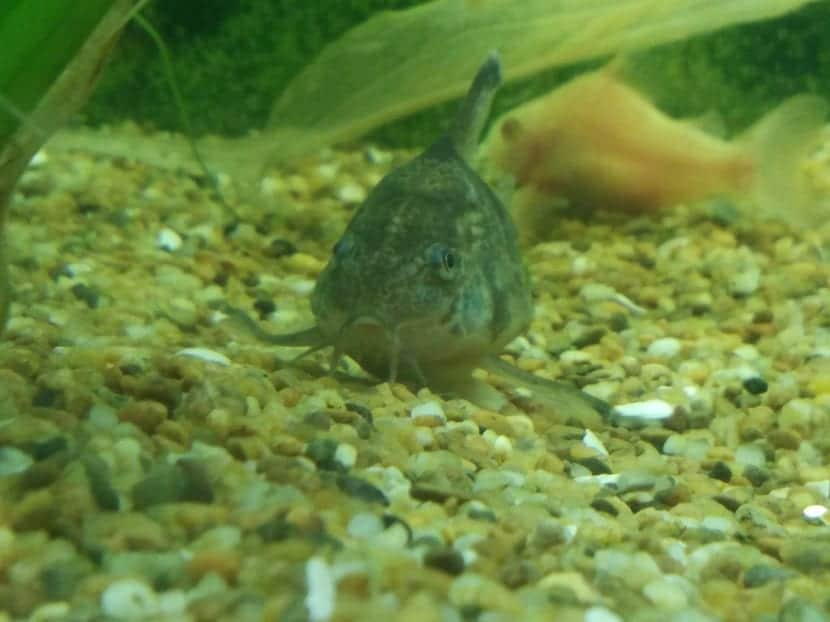 pez gato en el fondo