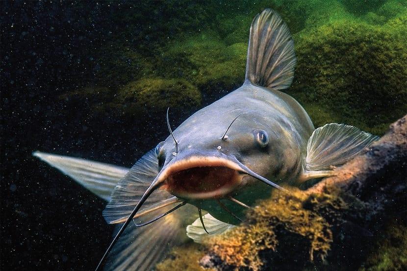 pez gato en pecera