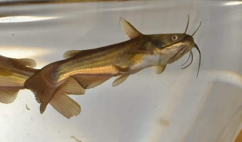 pez gato nadando