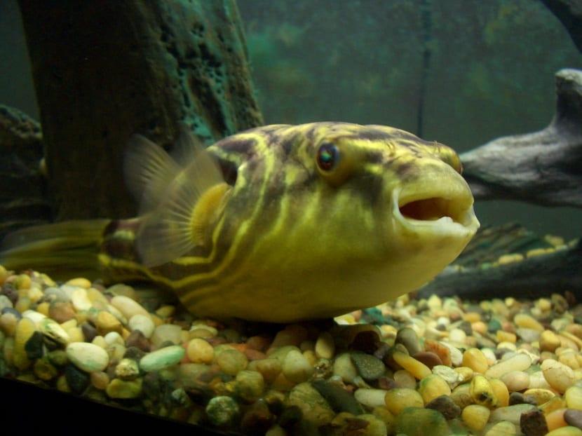 pez globo desovando