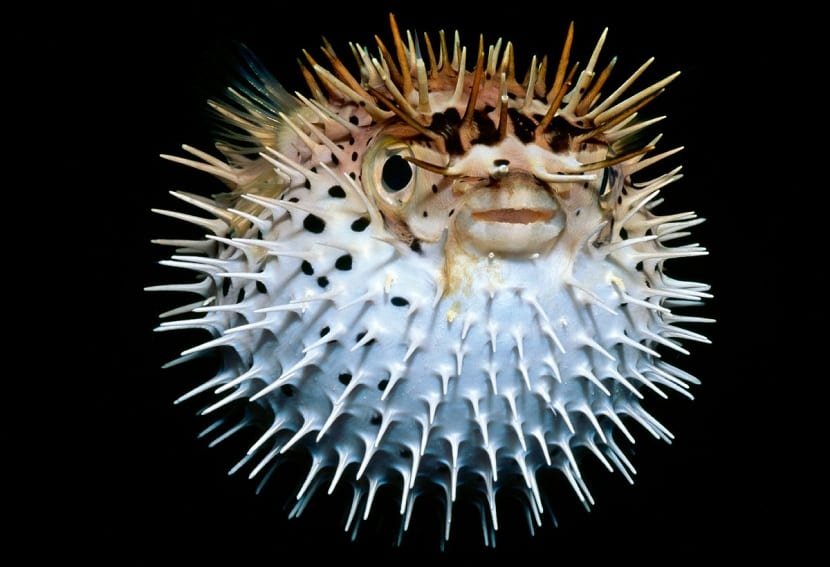pez globo hinchado