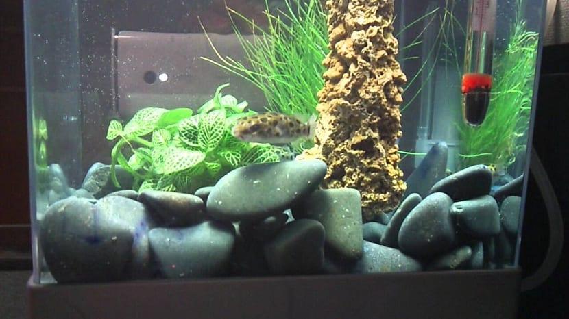 pez globo solo en acuario