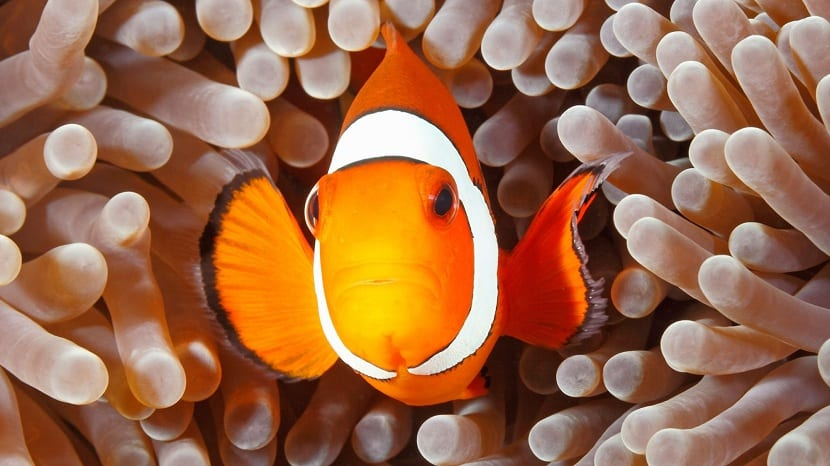 pez payaso territorial