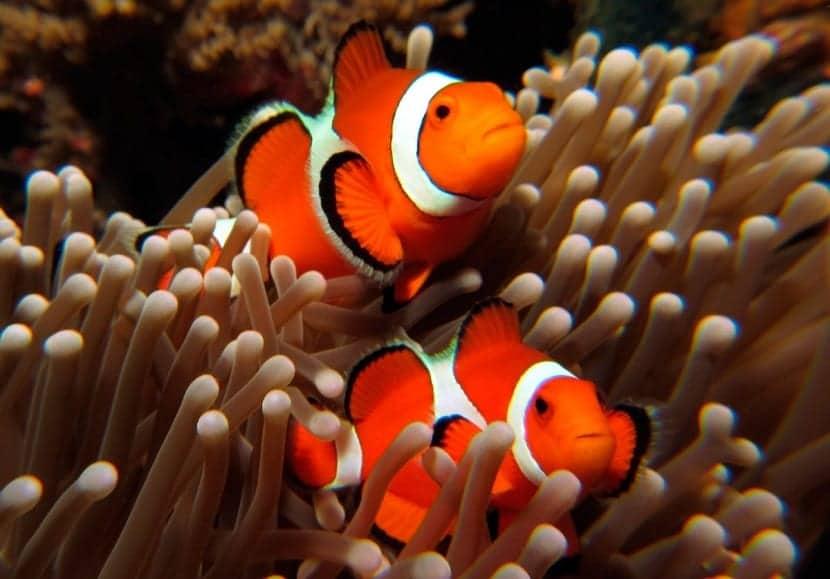 reproducción del pez payaso